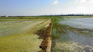 Cultivo del arroz.