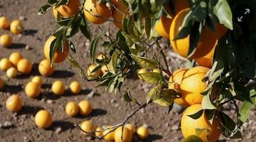 Recomendaciones Cultifort para favorecer una buena brotación en cítricos