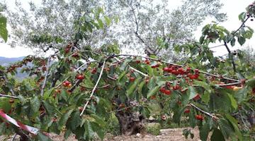 FASKOLOR : adelanto de la maduración y uniformidad de la coloración en cereza