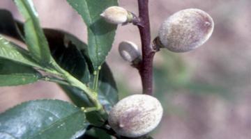 Llega el cuajado, la primera fase de desarrollo de los frutos