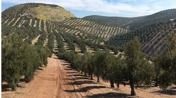 Bioestimulantes en olivar