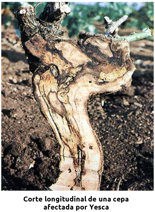 Corte longitudinal de una cepa afectada por Yesca