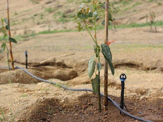 Manejo del riego plantación aguacate