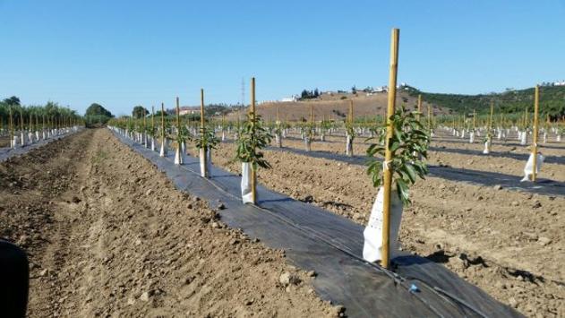 Nuevas plantaciones de aguacate