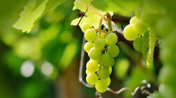 El cultivo de la uva para despedir el año