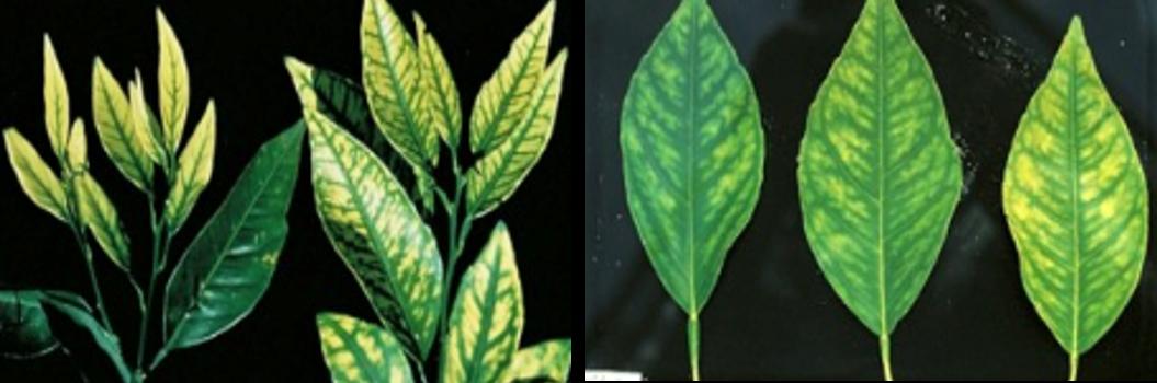 Figura 2. Carencias de zinc (izquierda) y manganeso (derecha) en hojas de cítricos.