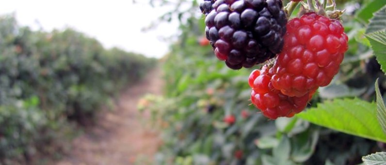 Figura 1. Mejora la vida post-cosecha en berries con SPIRALIS Long Life