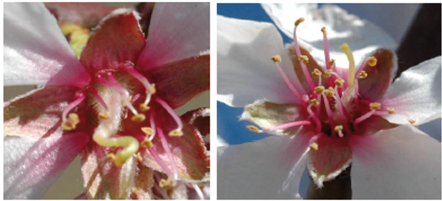 El cultivo del almendro - morfología floral