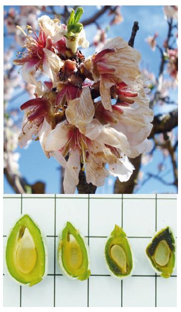 Detalle de daños producidos por heladas en flores y frutos de almendro