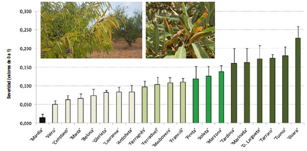 Susceptibilidad de diferentes variedades de almendro a Mancha Ocre