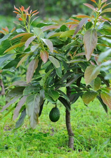 Avocado: preventive treatments against the fall of fruits