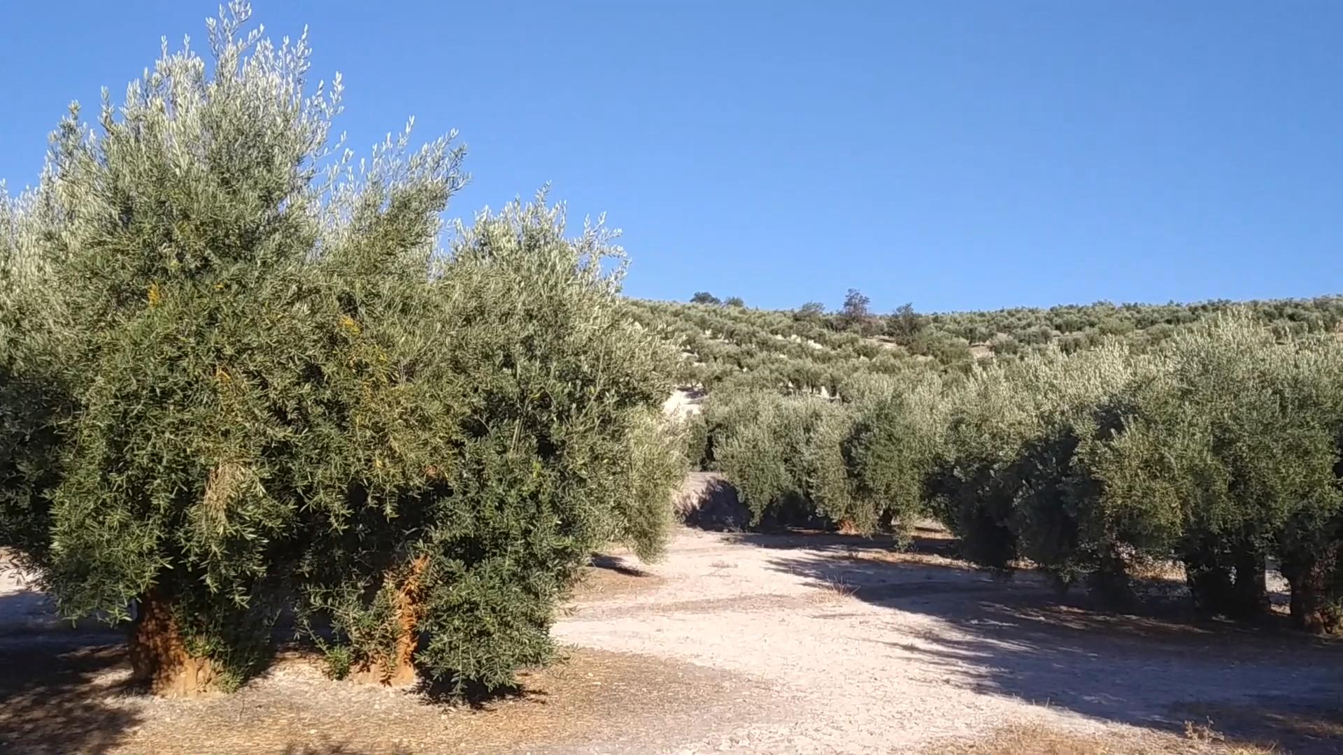 Cómo realizar un análisis foliar en olivar