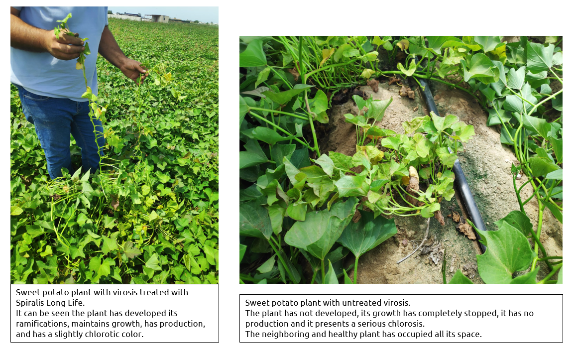 Evolution of sweet potato treated with Spiralis vs. usual treatment
