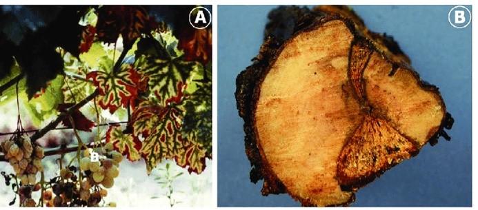 2. Poda - enfermedades de la madera de la vid