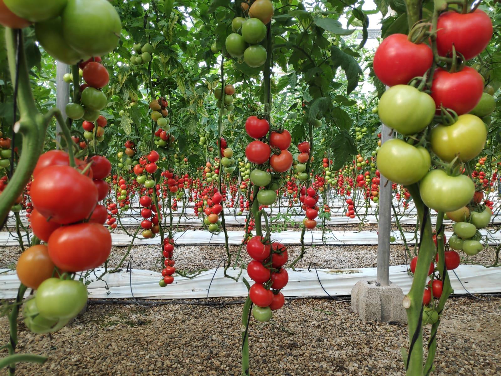 Tomate hidropónico tratado con Spiralis Eco Long Life de Cultifort