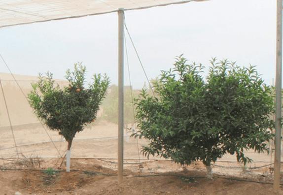 Clementina vigorosa vs. Otras mandarinas extratempranas