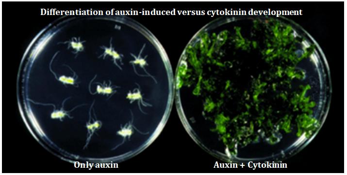 Auxin cytokinin diferences